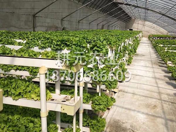 叶菜DFT栽培
